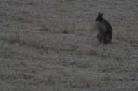 Wallaby with hay.jpg